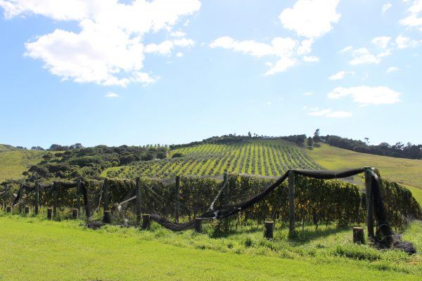 The vineyards at Te Motu Vineyard, our first stop.